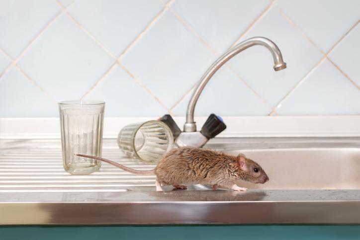 COMMENT PROTÉGER VOTRE MAISON DES RATS